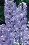 Delphinium Camelliard -  Appx 50 seed